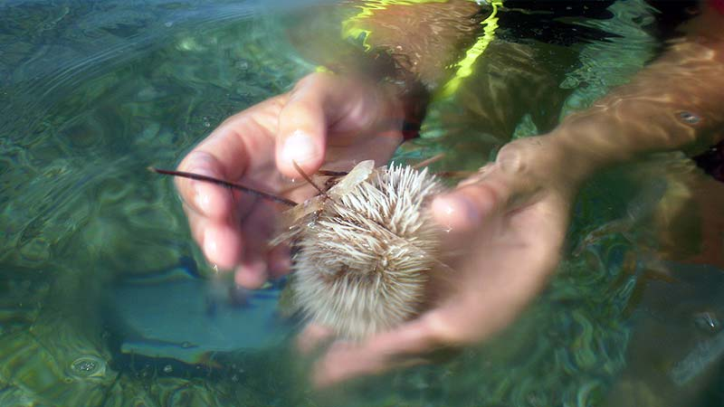 Hands gently holding a sea urchin