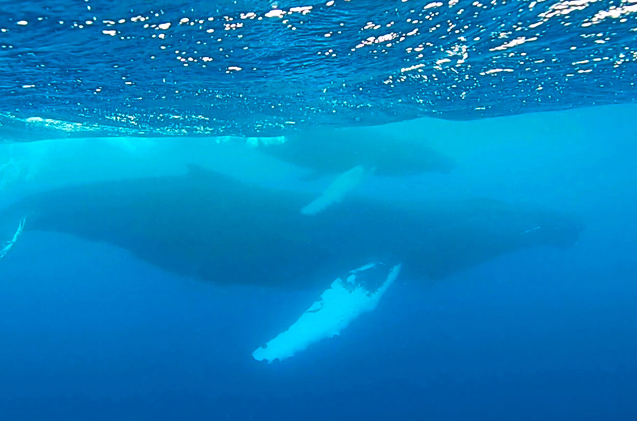 A humpback whale and calf on the Silver Bank.