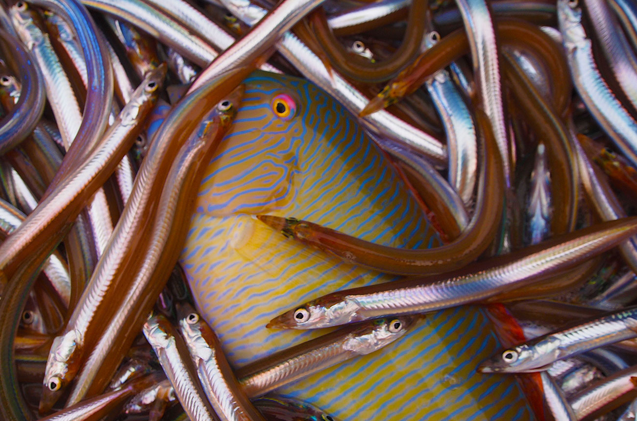 A rainbow wrasse caught as bycatch in the Mediterranean. photo credit N. Rodriguez