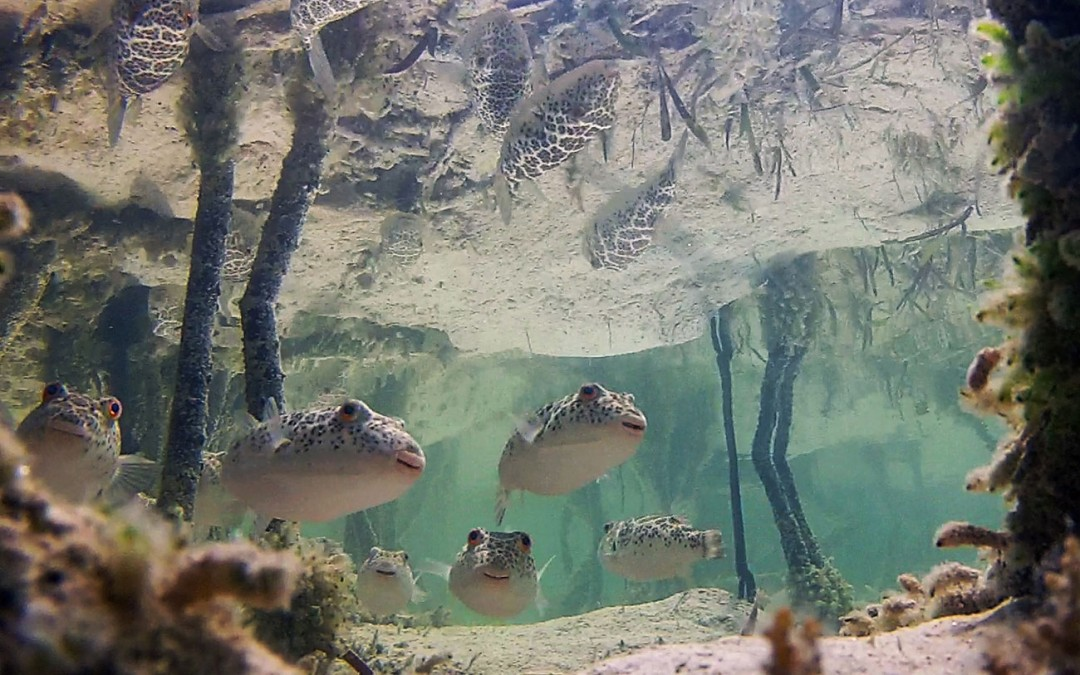 Pufferfish in a mangrove in the Turks and Caicos. photo credit W. Matweyew