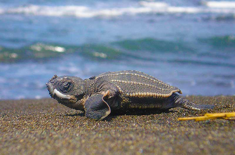 A tiny leatherback hatchling protected by LAST
